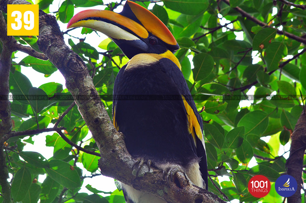 Greate Indian Hornbill at Buxa Tiger Reserve.