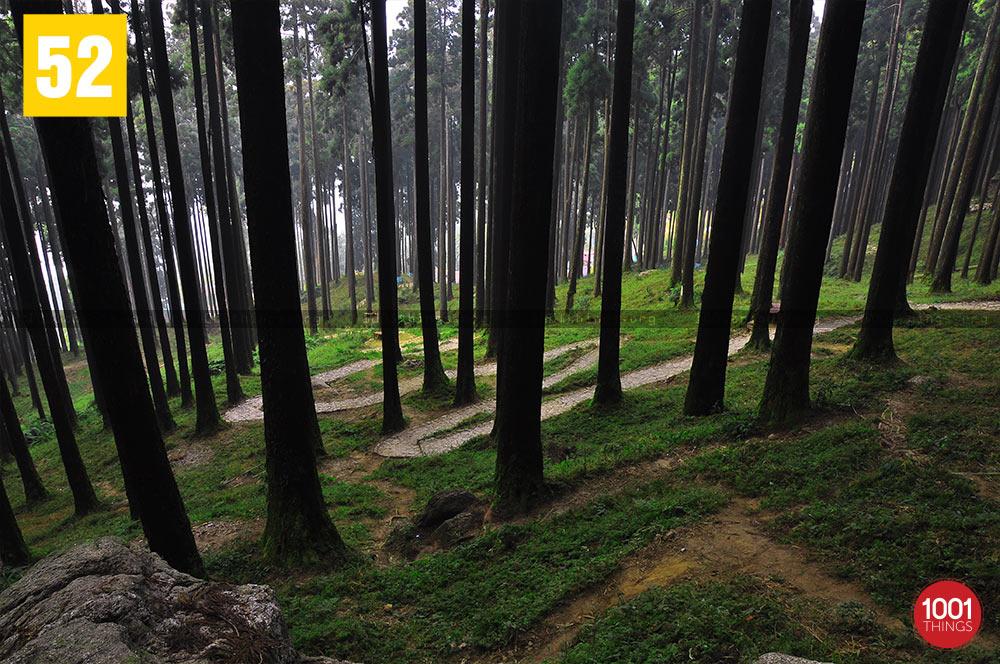 Lamahatta pine trees, Darjeeling