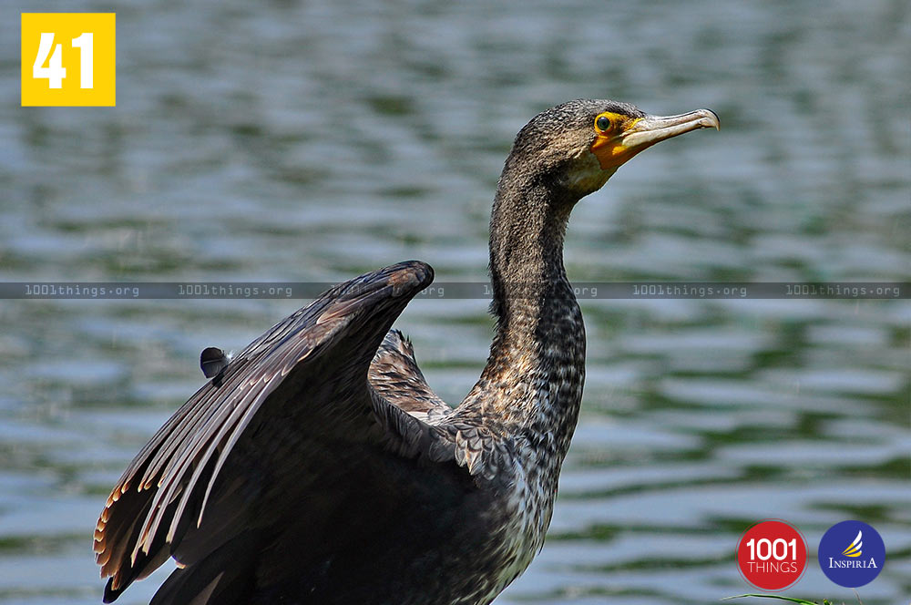 Large Cormorant at Mirik Lake, Darjeeling