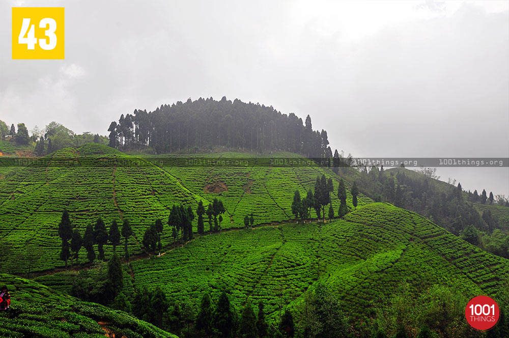 Phuguri, Mirik Tea Garden