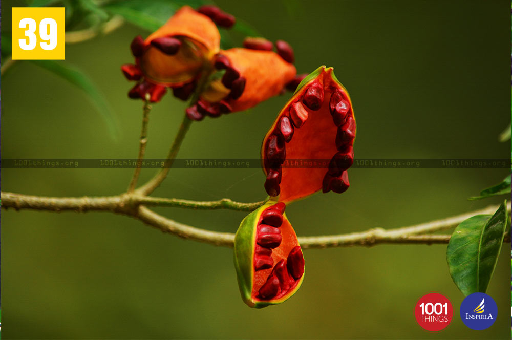 Tabernaemontana at Buxa Tiger Reserve.