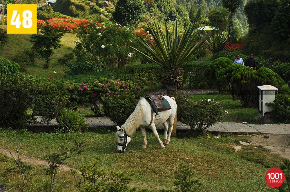 White horse at Deolo, Kalimpong