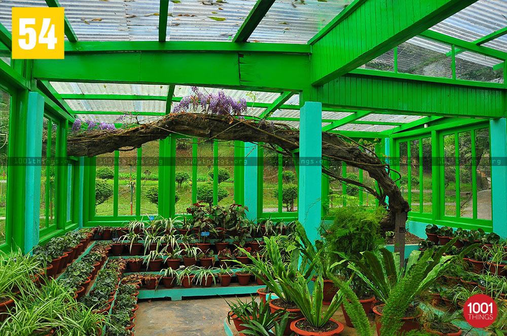 Wisteria plant at Lloyd Botanical Garden, Darjeeling