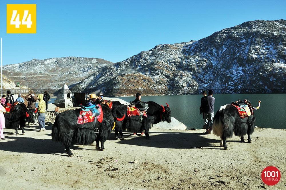 Yak riding at Tsongmo Lake, Sikkim