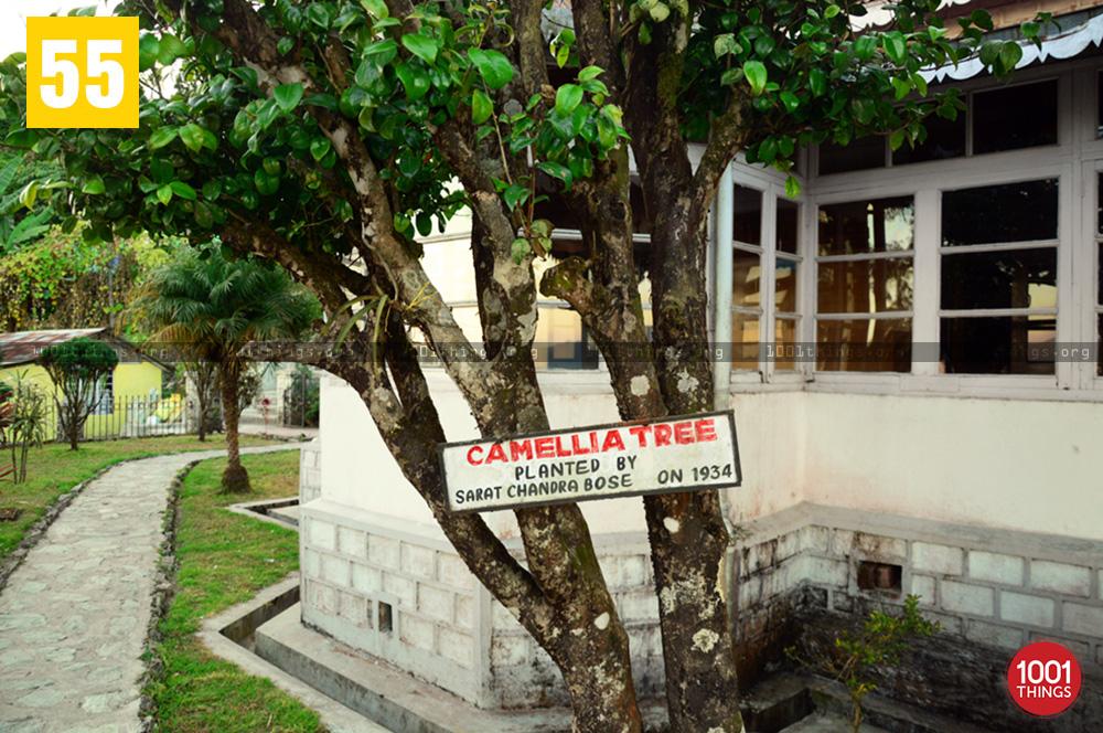 Camellia Tree at Netaji Museum, Kurseong