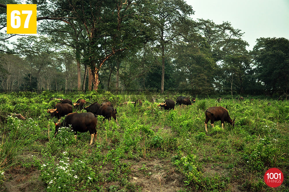 Bisons at Jaldapara National Park, Dooars