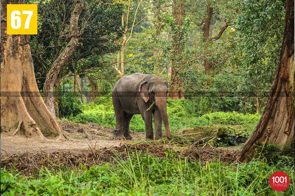Elephant at Jaldapara National Park, Dooars