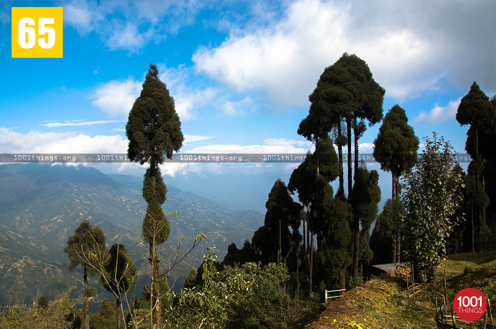 Pine Trees at Jorepokhri, Darjeeling