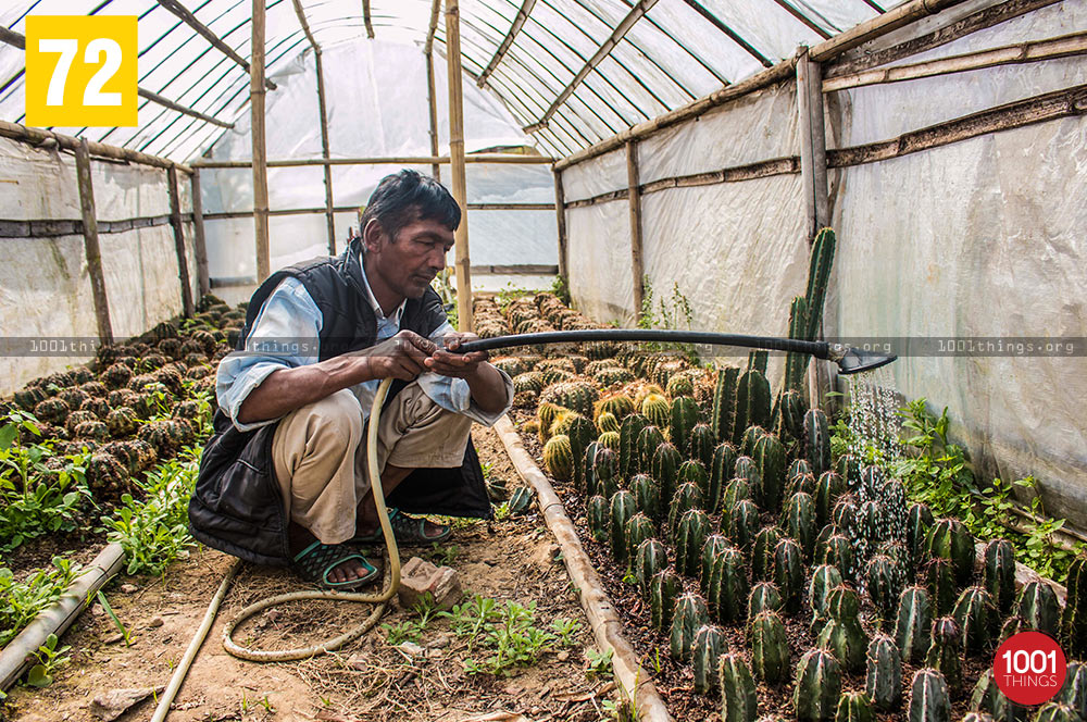 Worker watering cactus at Pine View Nursery, Kalimpong