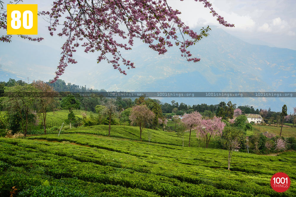 Beautiful view of Temi Tea Garden, Sikkim