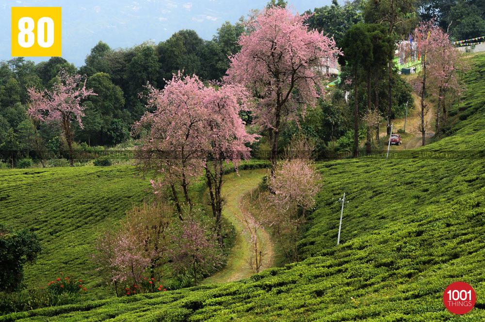 Cherry blossom at Temi Tea Garden, Sikkim