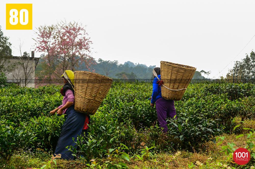 Tea pluckers at Temi Tea Garden, Sikkim
