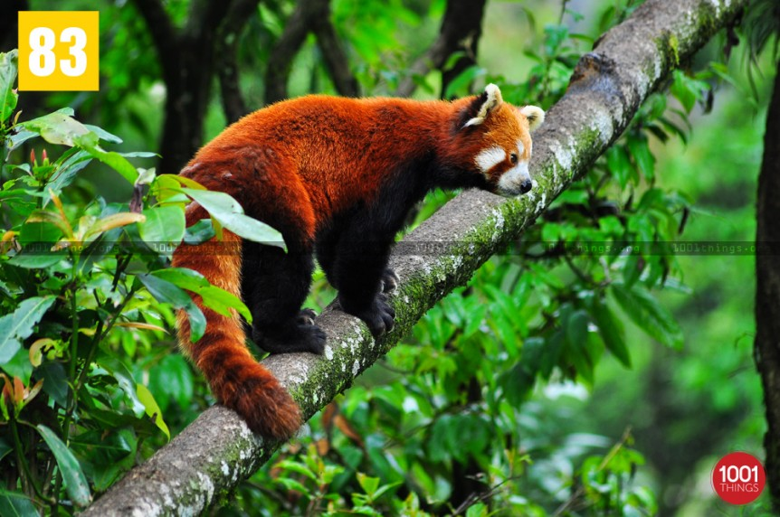 Red panda at The Padmaja Naidu Himalayan Zoological Park