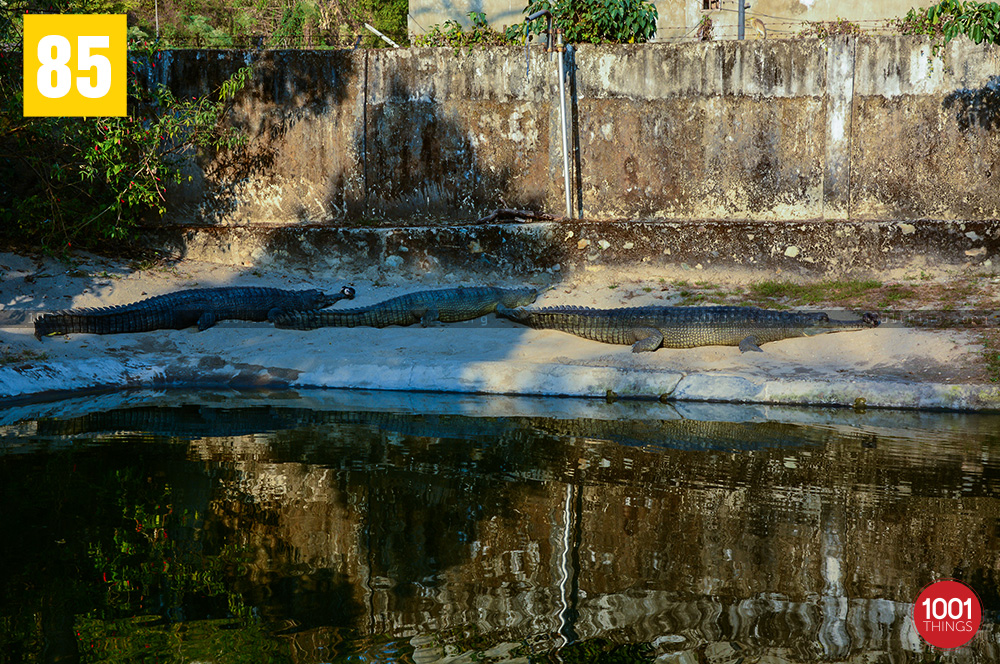 Resting Crocodiles at Crocodile Farm, Phuentsholing, Bhutan