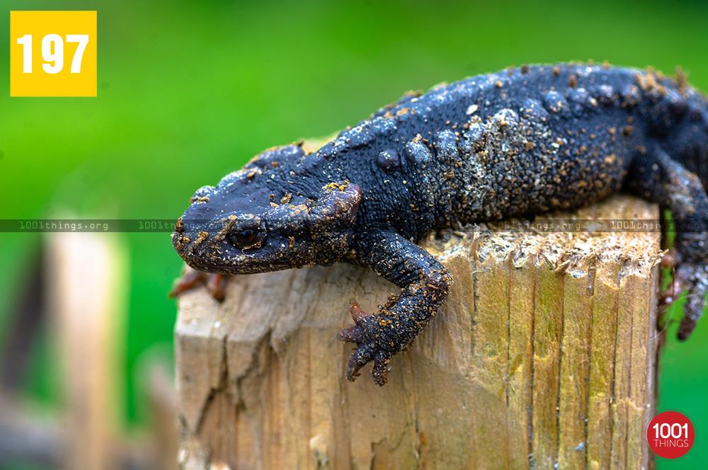 Salamander7