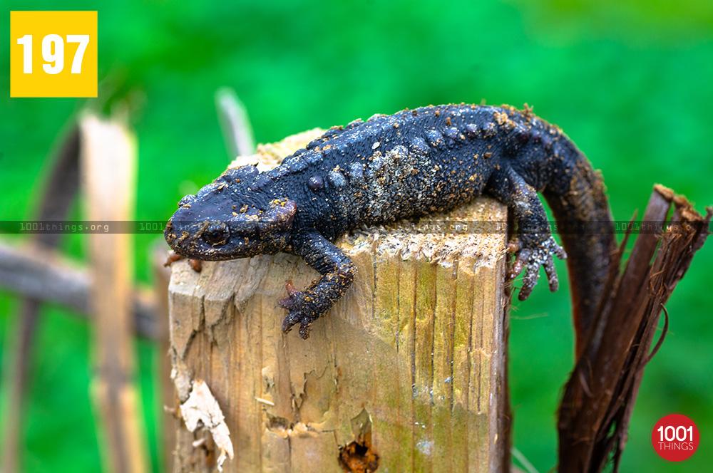 Salamander8